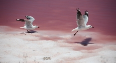 Gulls and pink lake